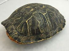 Real Turtle Shell - 9 - 10 inch Long - Red Eared Slider - Carapace Taxidermy