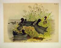 Original Old Antique Print The Cinerous Coot Jasper Birds America 1878 Victorian
