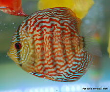 Red Turquoise Discus - Beautiful Live Freshwater Tropical Fish