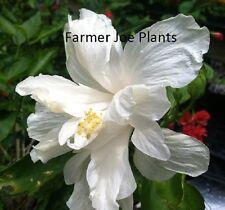 """HIBISCUS - DOUBLE WHITE - 1 PLANT - 4.5"""" QUART POT - LIVE PLANTS"""