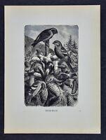 1885 Rev. Wood Bird Print  Cross Bills or Crossbill Loxia Pine Cones Ornithology
