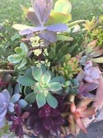 "10 assorted fresh succulent cuttings 1"" - 4"" some rare kalanchoe sedum crassula"