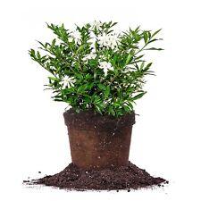 Frostproof Gardenia, Live Plant, Size: 1 Gallon