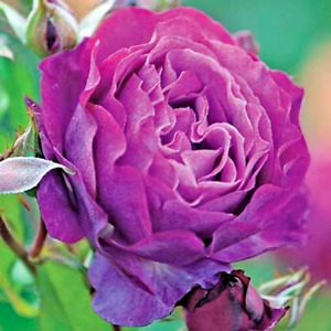 Wild Blue Yonder rose seeds 10 per pack USA grown & shipped