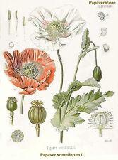 1 gram 1,000+ SUPER MIX Afghan Poppy Seed Papaver somniferum entheogen Persian