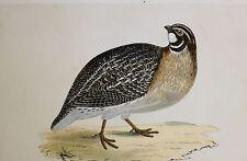 c1875 ANTIQUE PRINT ~ QUAIL ~ HAND COLOURED British Birds Morris