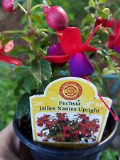 FUCHSIA - Purple/ Red - Jollies Nantes Upright, 1 LIVE PLANT!  GroCo Plants USA
