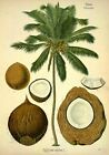 Coconut Tree | Printable Digital Photo | Digital Picture | Coconut Photo | JPGE