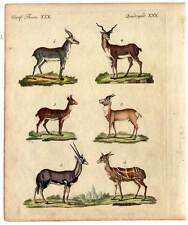 Antilopen und Gazellen-Tiere Bertuch-Kupferstich 1800