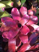 Giny's Garden Neoregelia Petra Bromeliads Plants.