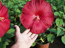 Hardy Hibiscus Seeds - LUNA RED - Winter Hardy Flowering Shrub - 10 Seeds