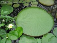 5PCs Seeds Bonsai Flower Victoria Amazonica Giant Water Lily Lotus Garden