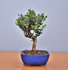 Bonsai Mediterran, Olive, Ölbaum, Wildolive (Olea europaea sylvestris) 2024