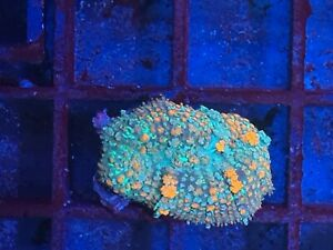 Ultra Blue  Bounce Mushroom Rhodactis Soft Coral not lps/sps