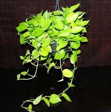 "HUGE Neon Pothos 8"" Full Pot Epipremnum aureum Neon Beautiful Chartreuse Leaves"