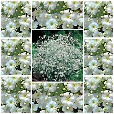 "Gypsophila ""Convent Garden"" baby's breath 150 flower seeds cottage garden"