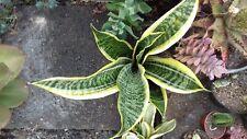 Sansevieria trifasciata 'Laurentii' – Striped Mother-in-law's Tongue -15cm plant