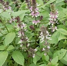 200 Licorice Basil Seeds Non-GMO Thai Basil Anise Persian Basil Spice Herb