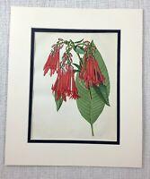 1877 Antique Botanical Print Red Bolivian Fuchsia Flower 19th C Chromolithograph
