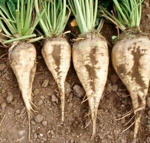 Sugar Beet Seeds 200 Ct Vegetable Garden NON-GMO HEIRLOOM USA FREE SHIPPING