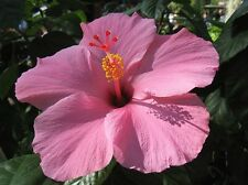 Cotton Candy Pink Hibiscus 25 Seeds - zones 3-11 Hardy 