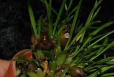 Botanica Ltd. Maxillaria paranaensis *Unique Mini In Bud* Species Orchid Plant