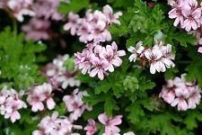 Fragrant: Common Rose Scented Pelargonium/Geranium x 6 cuttings