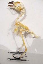 Crow Skeleton NICE! Partially assembled Taxidermy REAL Complete Bird Common