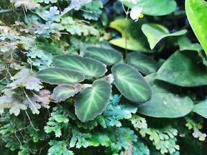 Begonia thelmae - Rare Tropical Terrarium Plant Cuttings