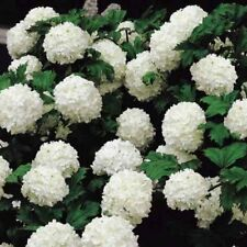 Snowball Viburnum - Live Plant - Shipped 1 to 2 Feet Tall - Common Snow Ball