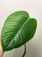 ~~~ Philodendron grandipes ~ RARE ~ Real Photo ~ aroid ~~~ no Anthurium