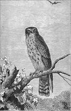 CHASSE: Vue d'un FAUCON perché sur un ARBRE au 19eme siècle - Gravure du 19e s.