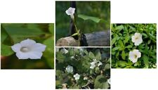 Wild Mini White Morning Glory Vine that Comes Back Every Year 50 Seeds