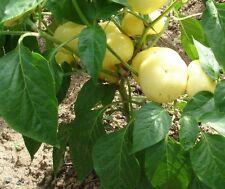Ungarische weisse scharfe Paprika, 100% natürlich, 10 Samen, NEUE Sorte