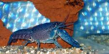 (1) Electric Blue Crayfish (Lobster) 1.5 inch Live fish FULLY GUARANTEED