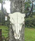 "21 1/2"" XL ""LONG UP-RIGHT HORNS"" Bison Buffalo Male Bull Skull Western Decor (4)"