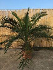 Phoenix Canariensis Palme kanarische Dattelpalme Gesamt: 150-170cm Stamm:20-40cm