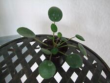 Pilea peperomioides / Ufopflanze / 2409 1-68708