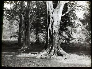 ANTIQUE Magic Lantern Slide WELBECK BEACH TREES IN SUNSHINE C1910 PHOTO WORKSOP