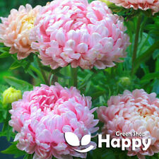 PAEONY ASTER - 150 SEEDS - DELICATE PINK - PINK PEONY - DROUGHT TOLERANT