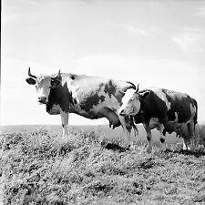 SUISSE c. 1959 - Vaches Cloches  Col du Marchairuz - Négatif 6 x 6 - Sui 134