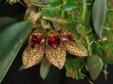 Bulbophyllum frostii orchid plant Bloom Size Thailand Cites Phyto