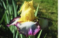1 Lg Kiss Of Kisses Bearded Iris Rhizome Bulb Reblooming Rhizomes Tall Heirloom