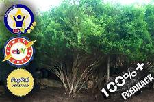 25 Hybrid Willow Salix Bush Austree cutting fast shade privacy BUSH Salix