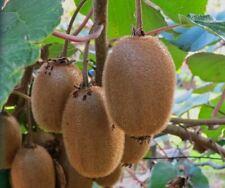 Kiwi Seeds Fruit Bonsai Fruit Plant Seeds Exotic Fruit Delicious Kiwi Garden