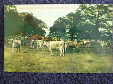 Early 1900's Jersey Cows on the Bates Farm near Marion, Al Alabama PC