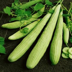 Seeds Rare Cucumber Armenian Pickling Giant Vegetable Organic Heirloom Ukraine