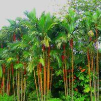 Fesh Cyrtostachys Sealing Lipstick Palm Tree Seeds - Wax Renda Red 50 Pcs/bag