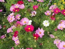 Graines de COSMOS fleur annuelle superbe