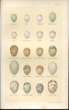 SEEBOHM Antique BIRDS EGGS print 1896 Chromolithograph  Plate 54
